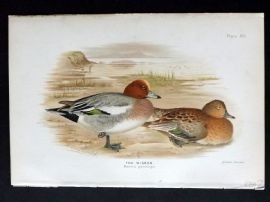 Baker & Gronvold Indian Ducks 1908 Antique Bird Print. The Wigeon